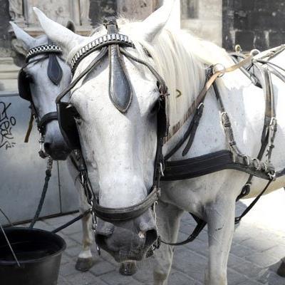 Die Fiaker-Pferde erhalten ab 35 Grad hitzefrei