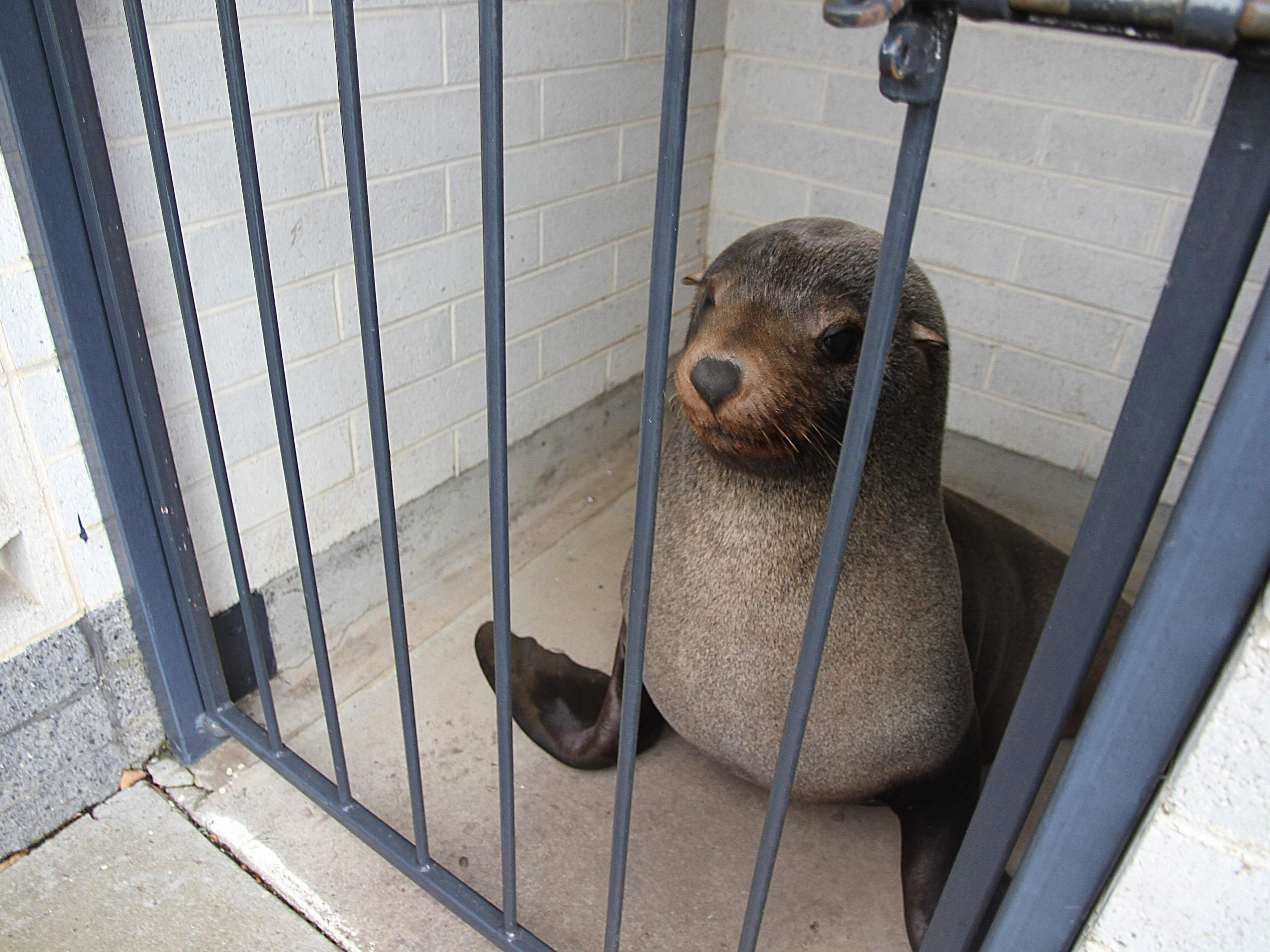 Seehund Sammy wurde zurück ins Meer gebracht