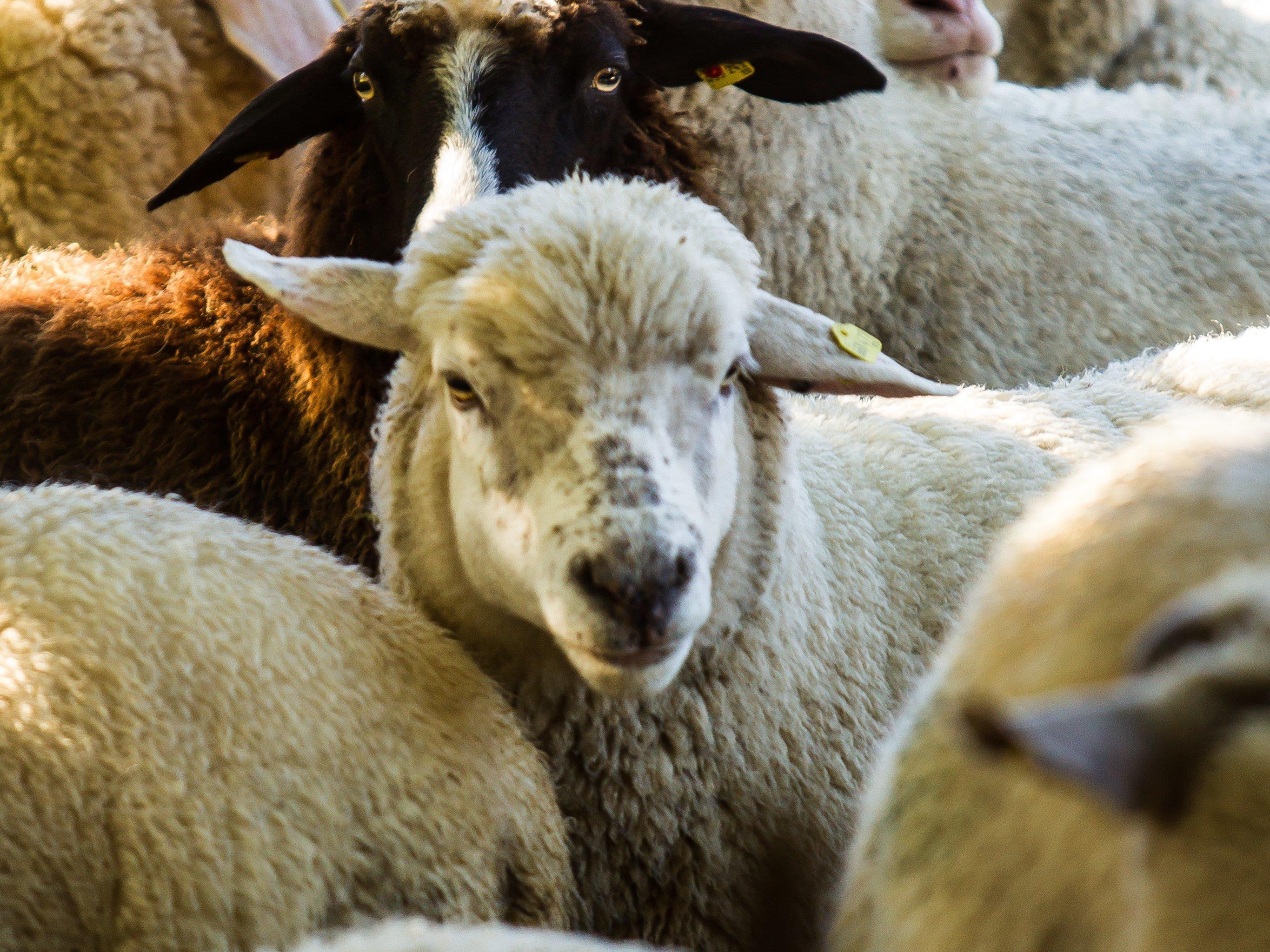 Grasende Schafe sorgen bei einem Anrainer für Unmut. Das Geräusch der Glocken ist ihm zu laut.