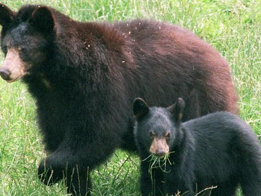 Eine Schwarzbärenmutter und ihr Junges. Normalerweise gelten die Tiere nicht als aggressiv.