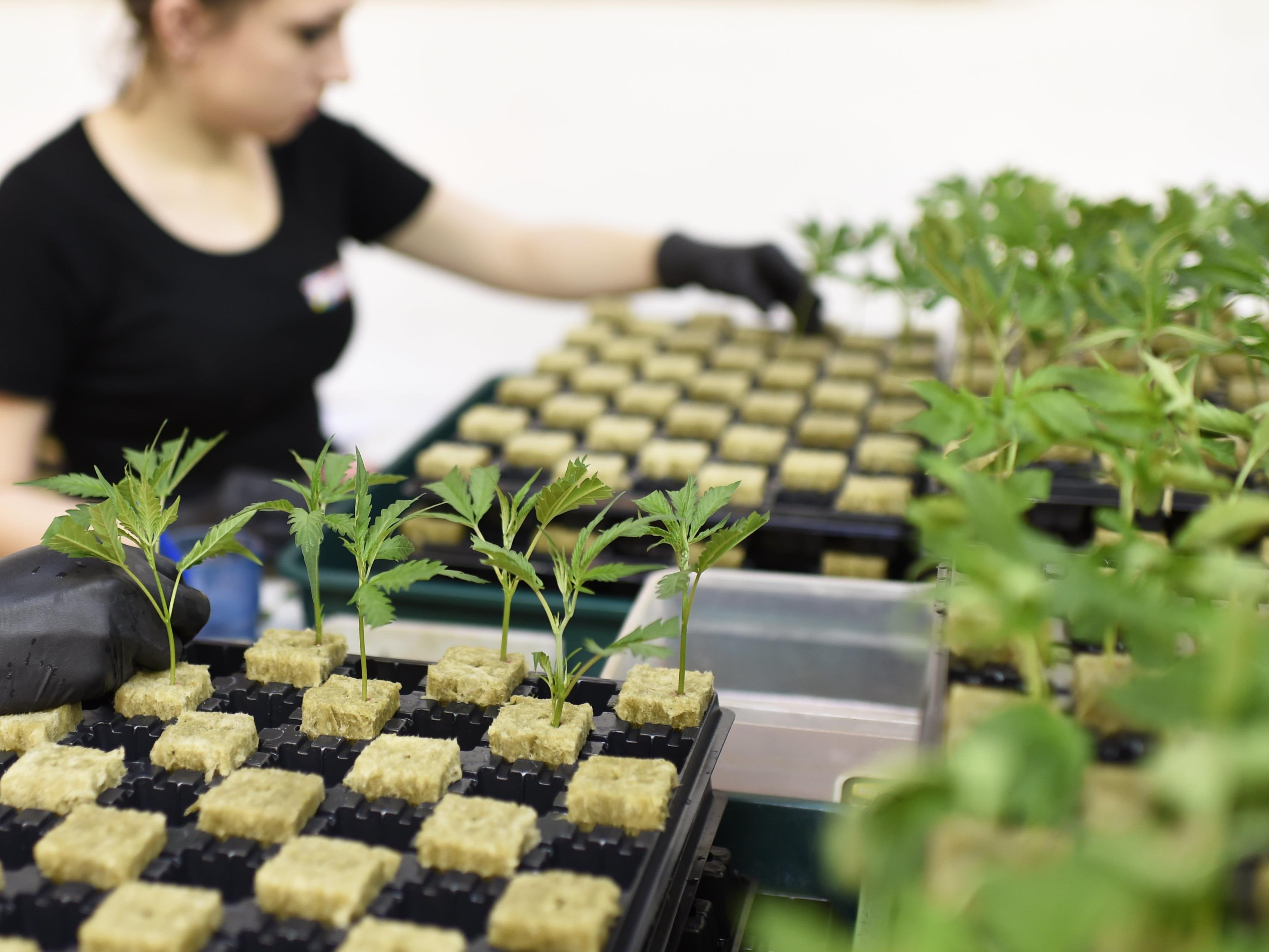 Große Mengen Marihuanas wurden geklaut
