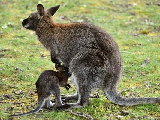 Australische Kängurus lassen sich offenbar nicht von Barrieren in der Straße beeindrucken. (Symbolbild)