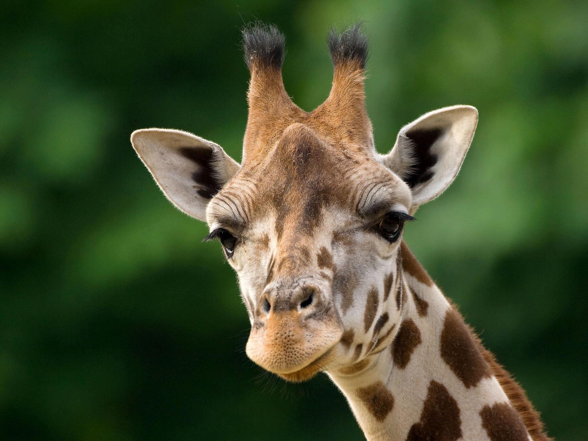 Mit den Giraffen auf Augenhöhe - bald möglich in Schönbrunn