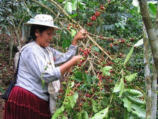 """Bolivien Aprocafe: """"Plantagenarbeiterin bei der Kaffee-Ernte."""