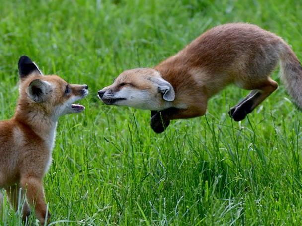 Im VOL.AT-Livechat erklärt Klaus Zimmermann, was zu tun ist, wenn man auf einen Fuchs trifft.