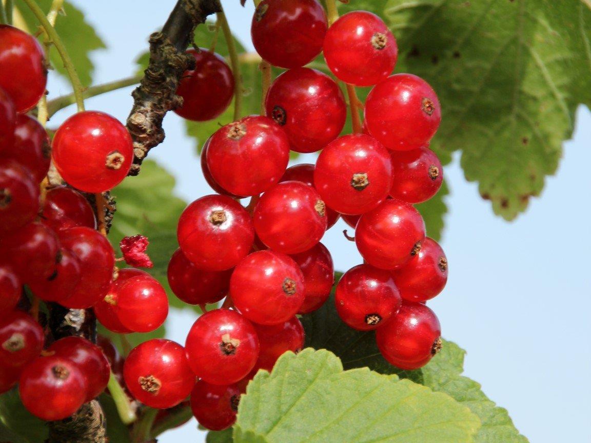 Beerensträucherschnitt im Herbst