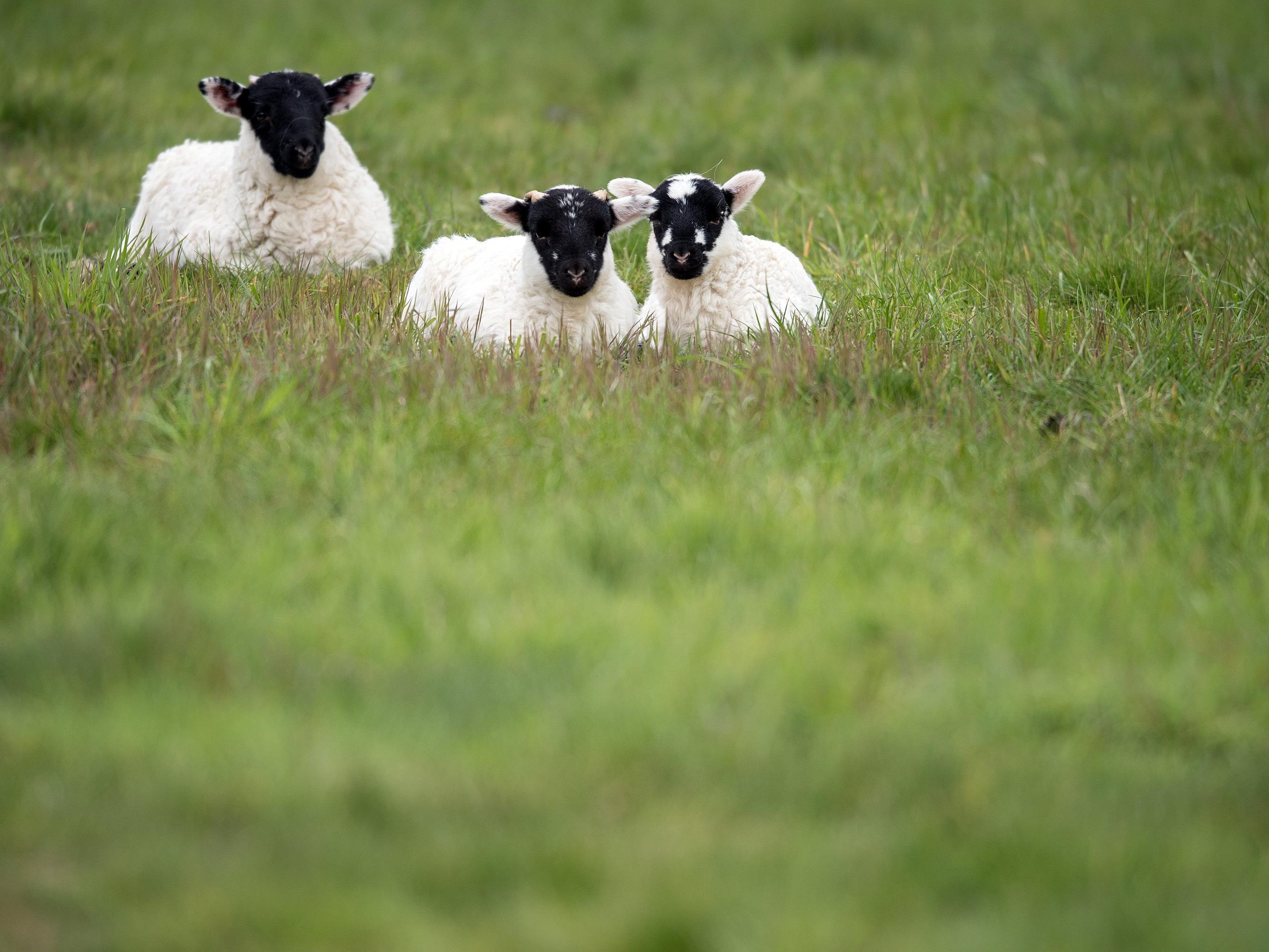 Normalerweise sieht man Schafe eher selten auf dem Fahrrad.