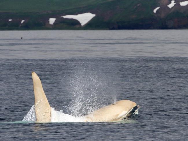 Weiße Orcas sind extrem selten.