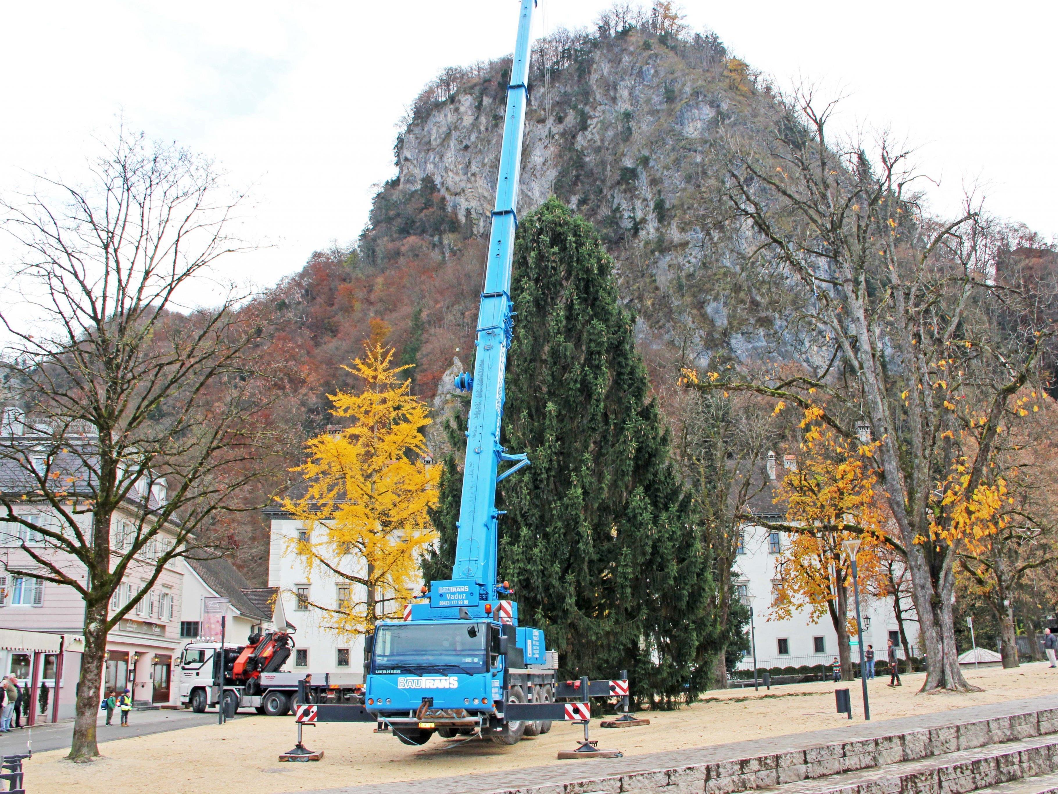 Majestätisch erhebt sich der Baum nun am Fuße des Schlossbergs auf dem Schlossplatz.