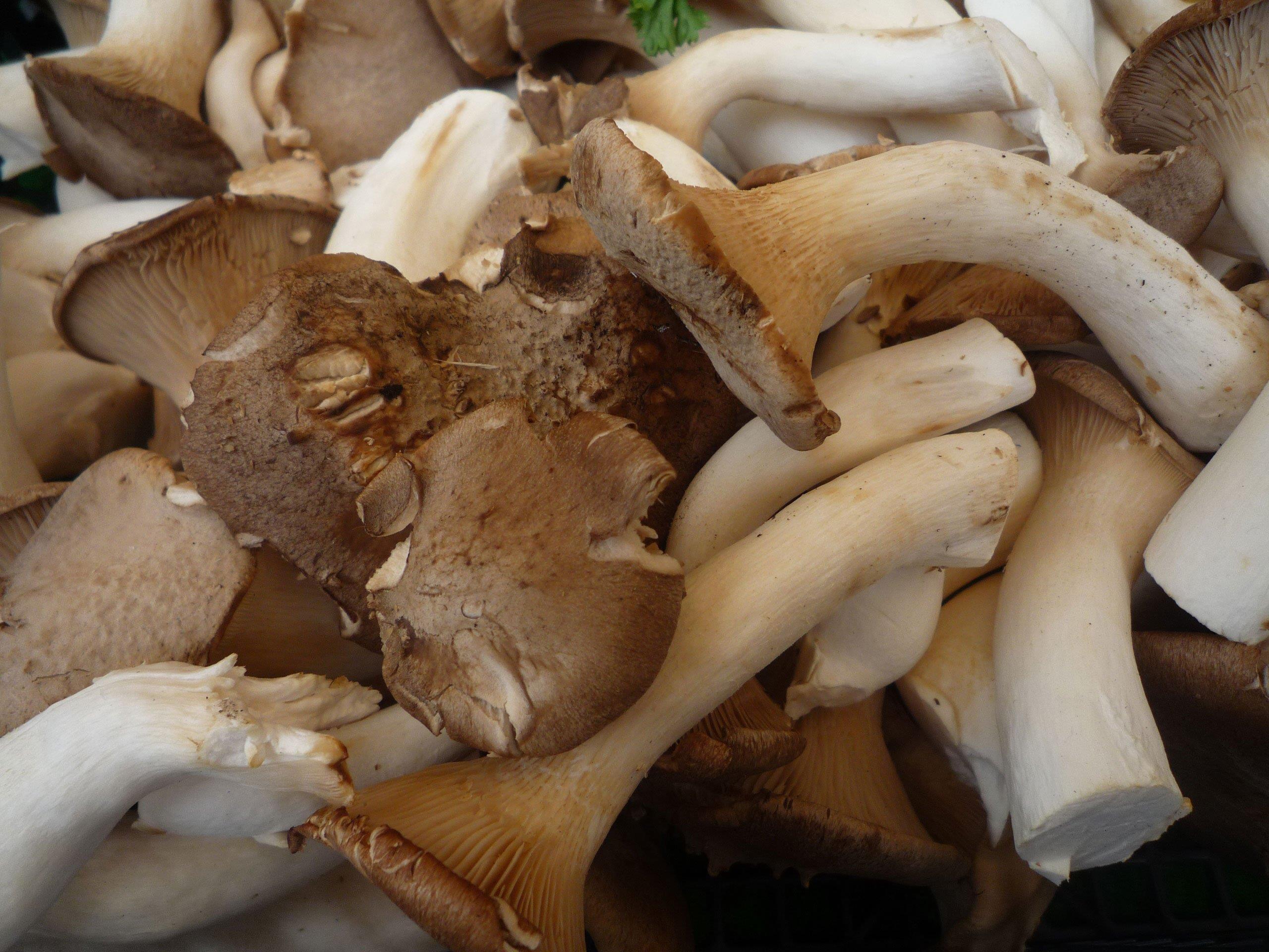 Magic Mushrooms, wie sie bei den Jugendlichen gefunden wurden, sind ganz und gar nicht so harmlos wie gewöhnliche Pilze