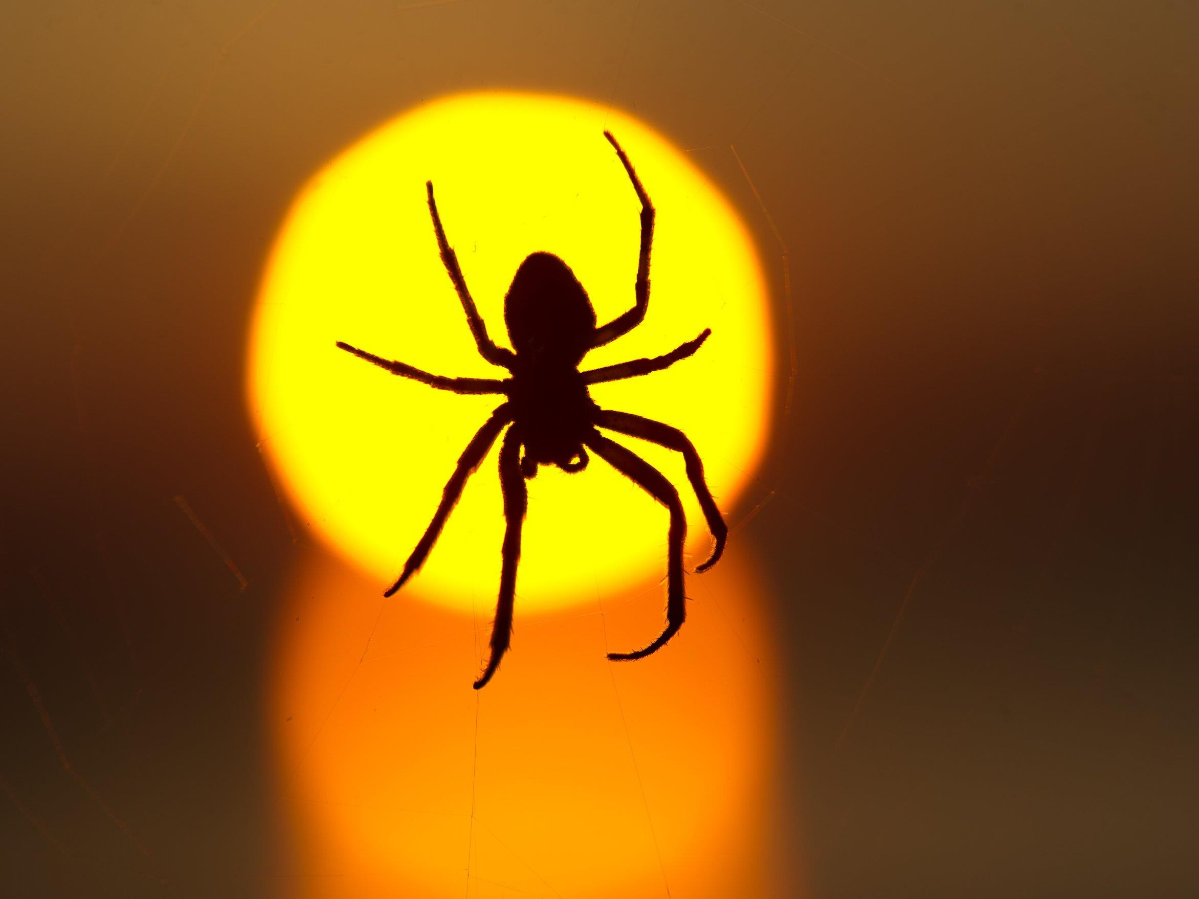 Sterben Spinnen Beim Einsaugen