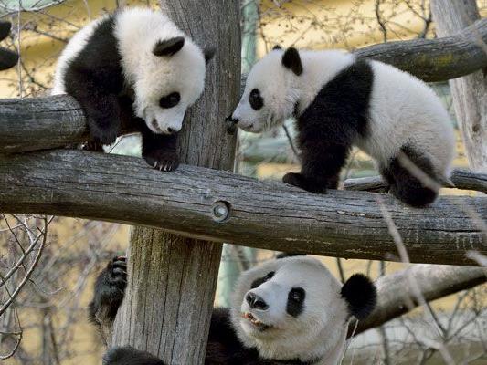 Der erste Ausflug der Panda-Zwillinge