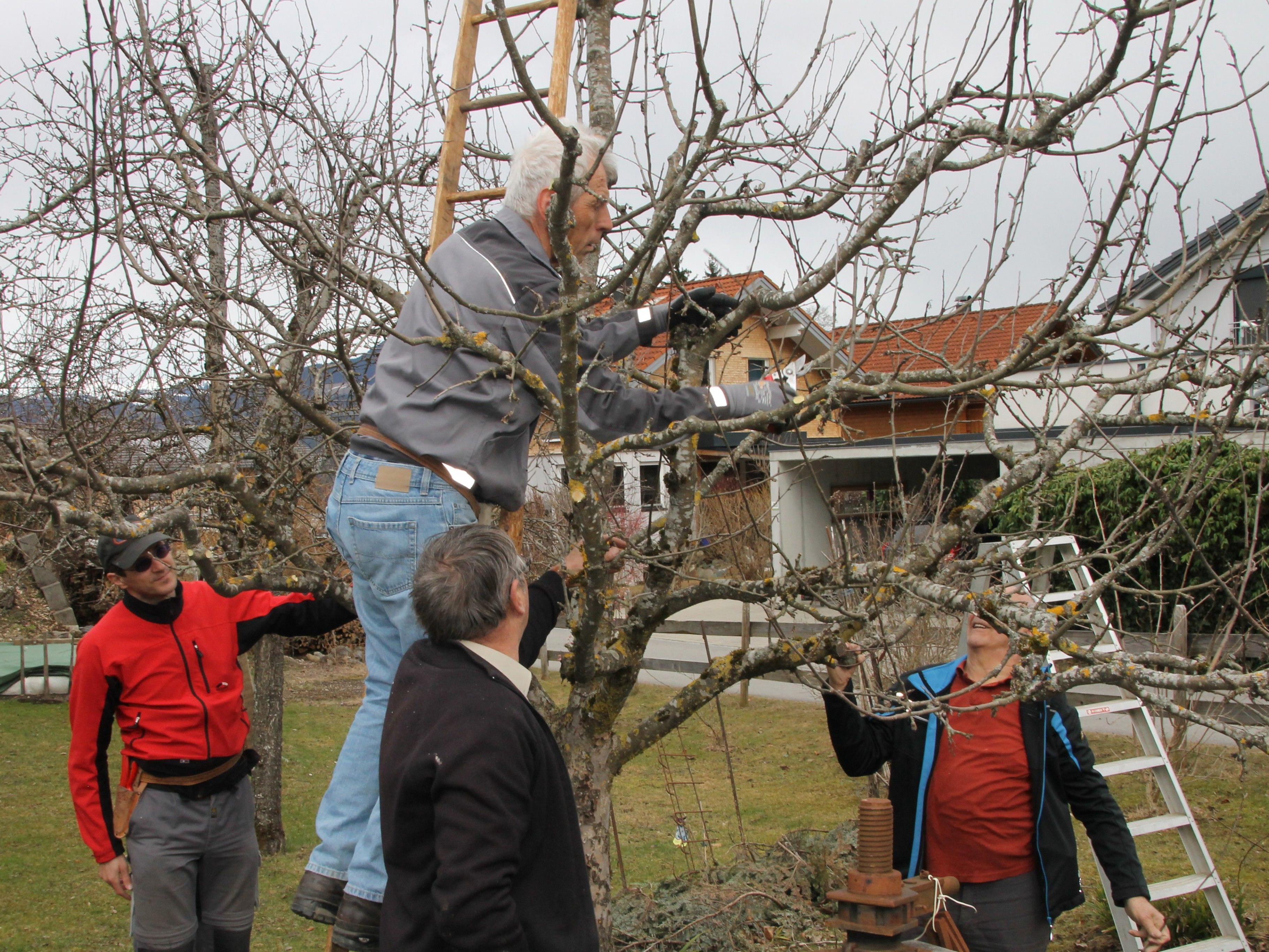 Für die Qualität der Früchte will der Obstbaumschnitt gelernt sein.