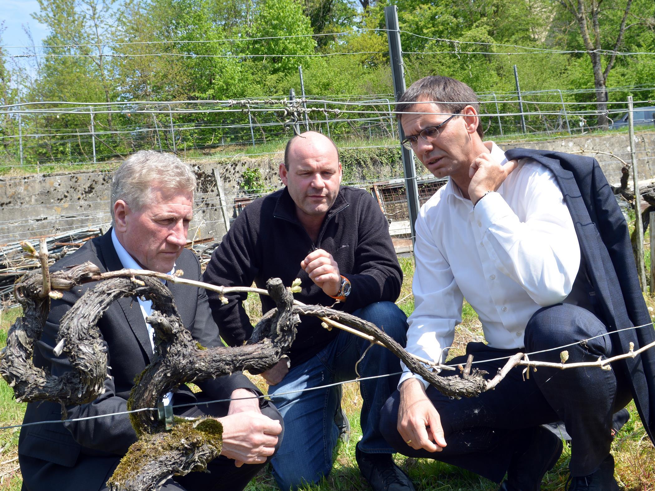 Josef Möth hat aufgrund der frostigen Nächte in der vergangenen Woche Schäden in seinem Weingarten zu beklagen