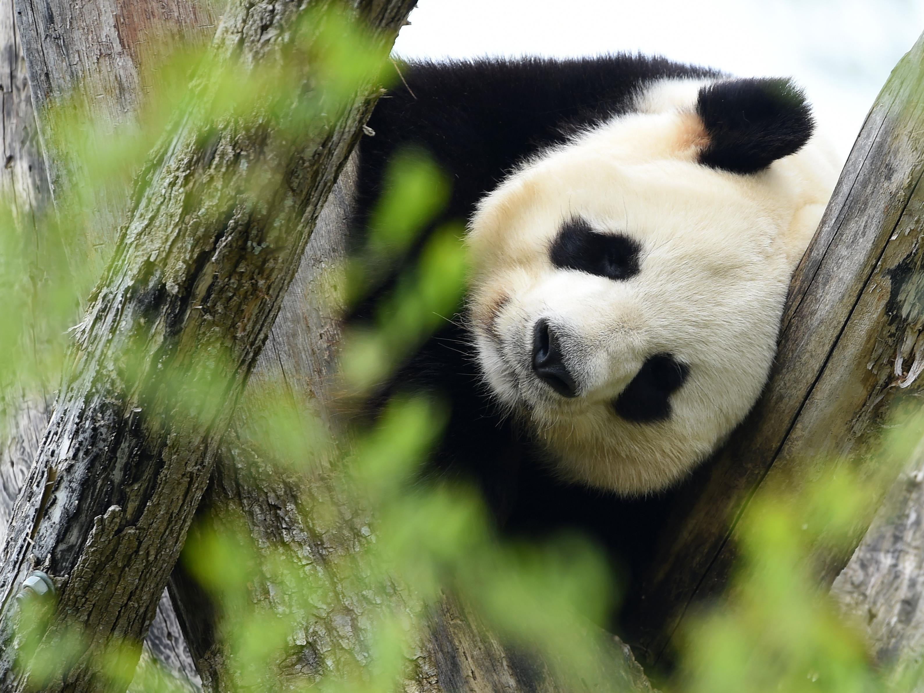 Dieser Panda ist zwar auch echt, er ist aber nicht des Rätsels Lösung.