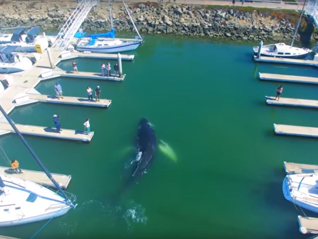 Der Buckelwal findet seinen Weg aus dem Hafen von Ventura nicht mehr.
