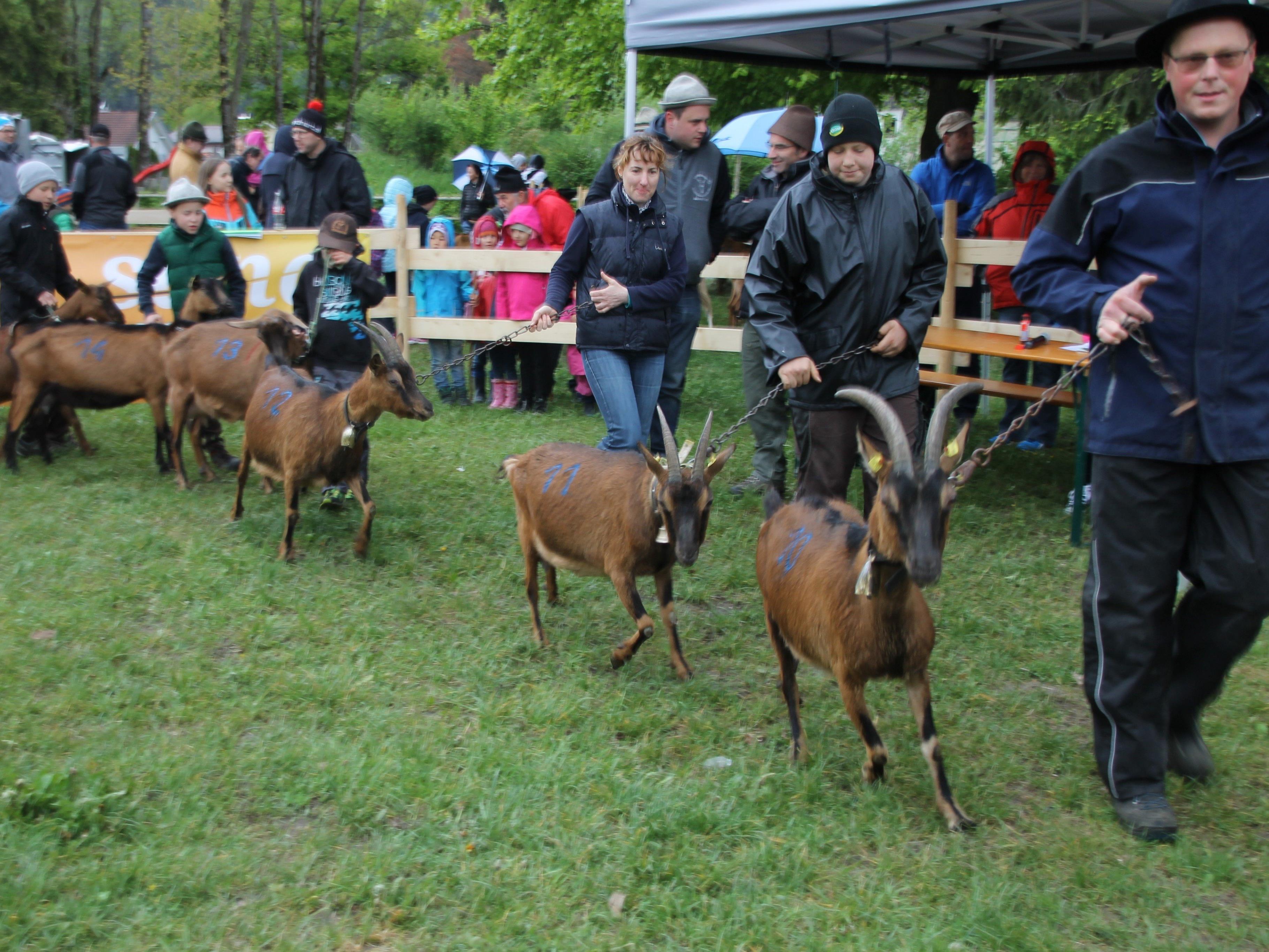 Bunte Ziegenausstellung an der Oberauschule in Gisingen.