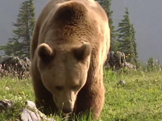 Weil Bären und Wölfe seit 2006 in Vorarlberg zahlreiche Schafe gerissen haben, haben sich einige Bauern zusammengeschlossen.
