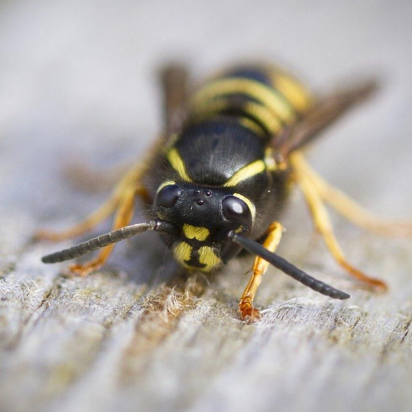 So vertreiben Sie läste Wespen beim Grillen.