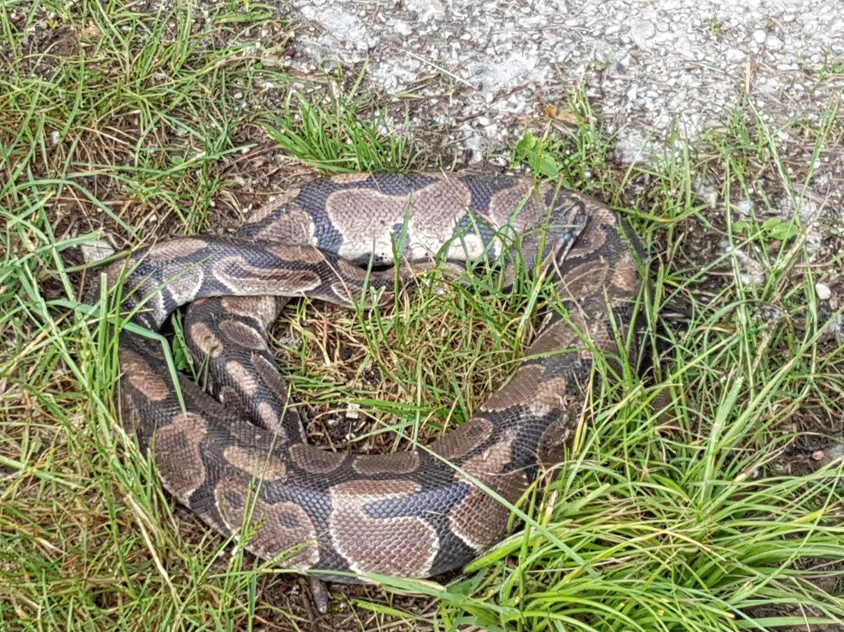 In Stockerau fand ein Spaziergänger einen Python im Gras.