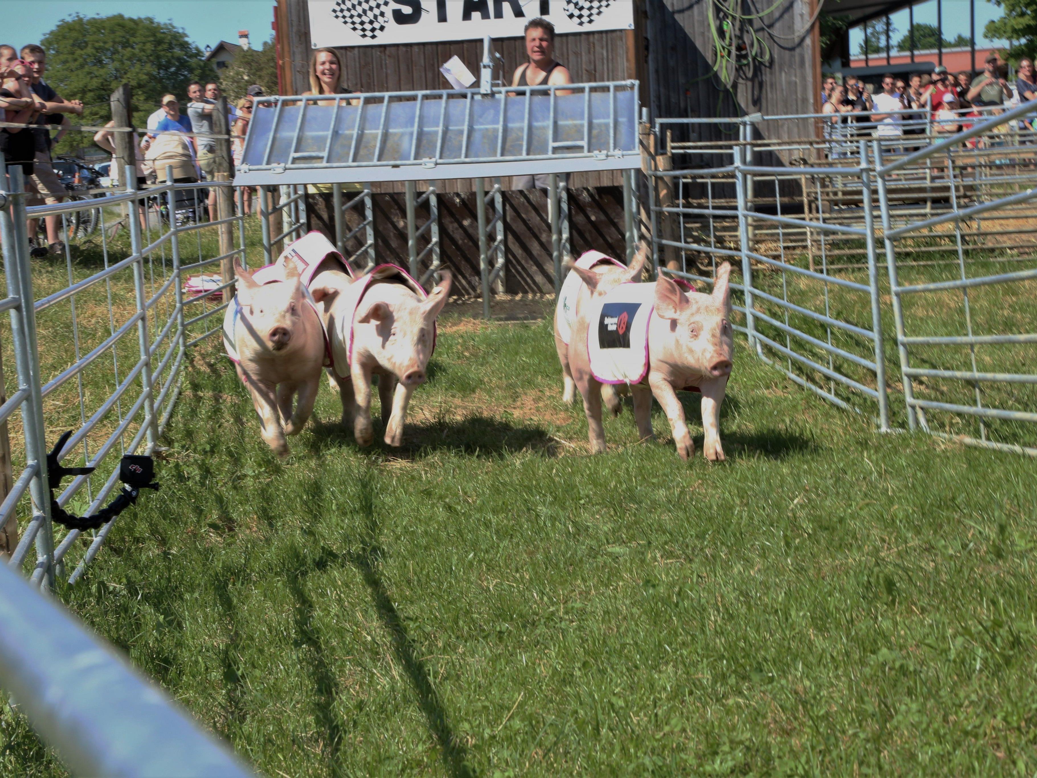 Je fünf Schweinchen traten an allen drei Tagen gegeneinander an.