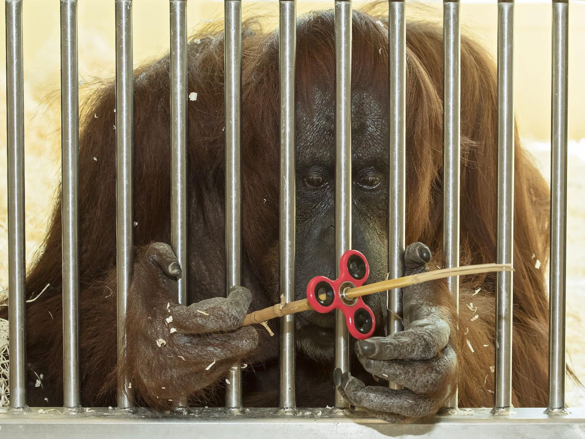 Orang-Utan-Dame Nonja scheint Gefallen am Fidget Spinner zu finden