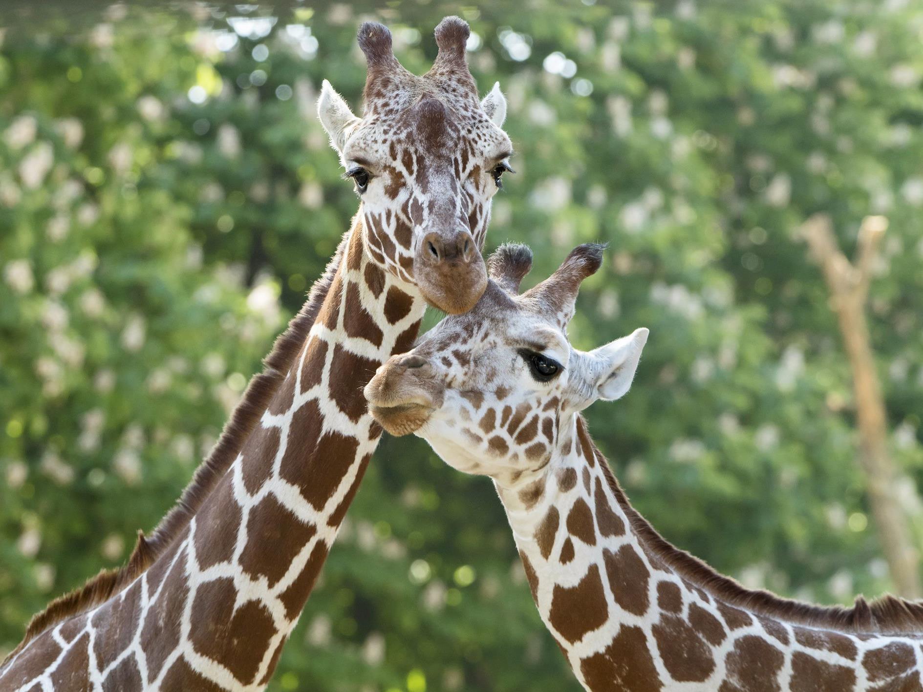 Der Tiergarten Schönbrunn lädt zum großen Giraffenfest