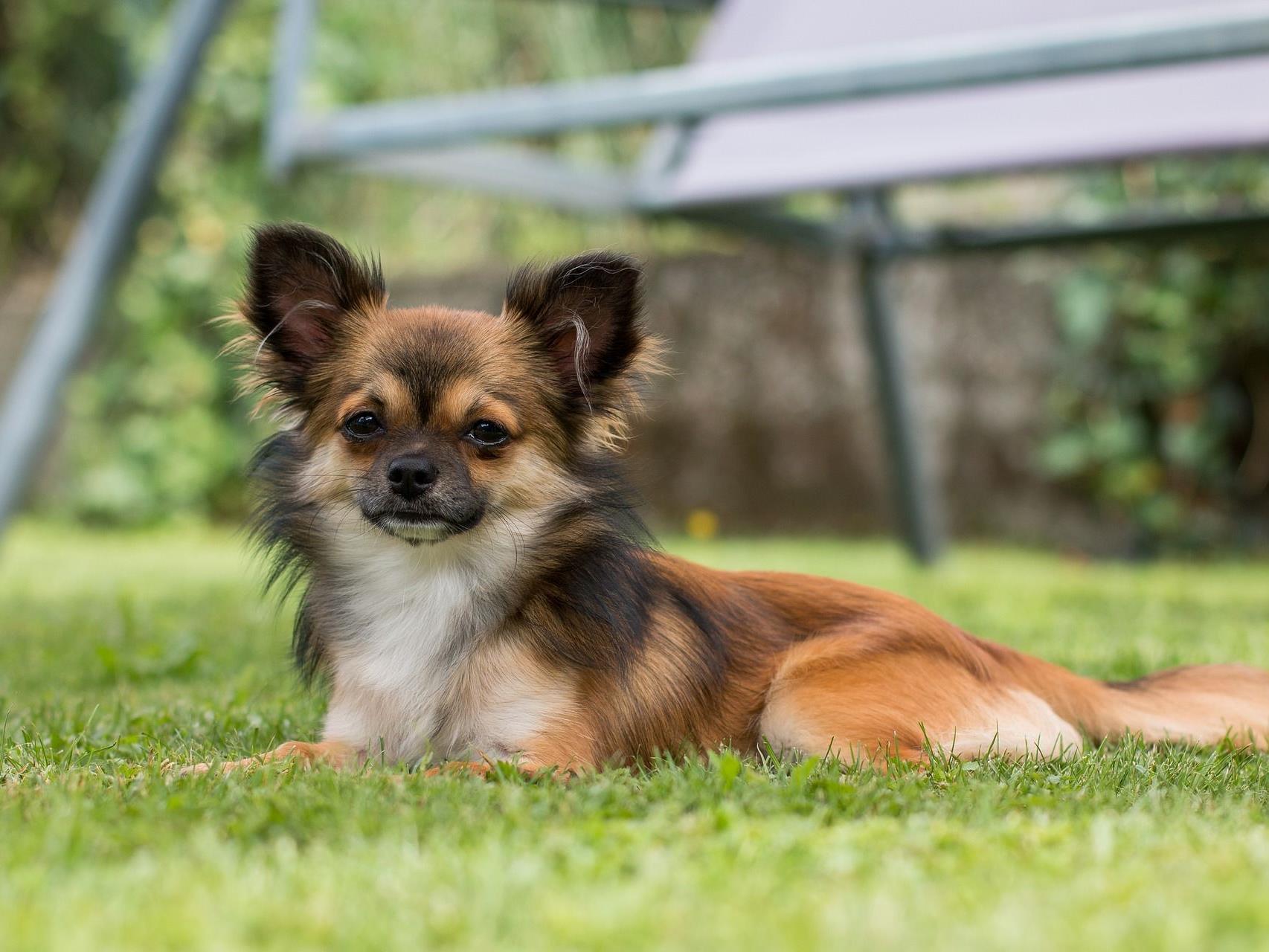 Auf den Hund gekommen - Wiener sind Chihuahua-Fans