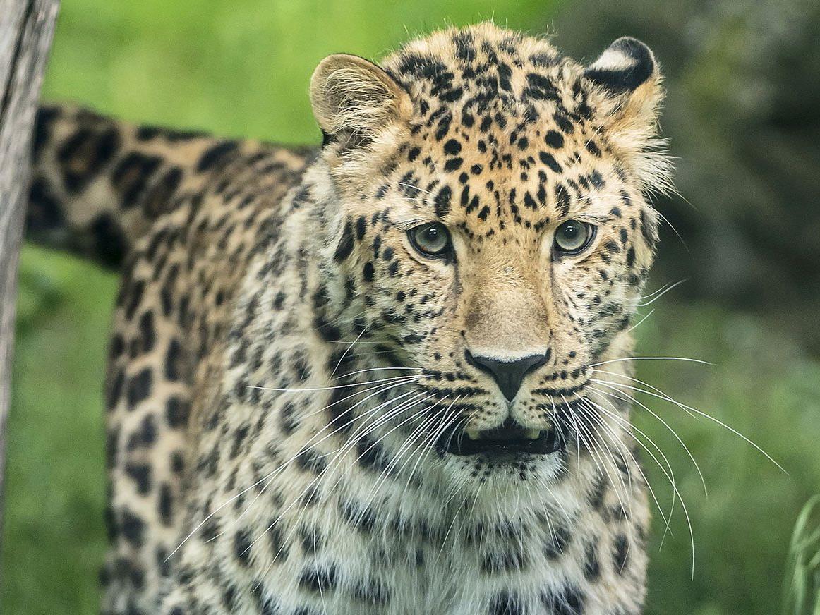 Der Schönbrunner Zoo hofft auf Amurleoparden-Nachwuchs.