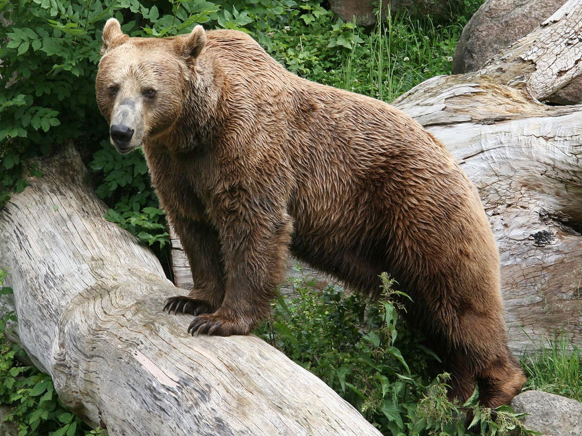 Über 30 Braunbären gibt es in der Region.