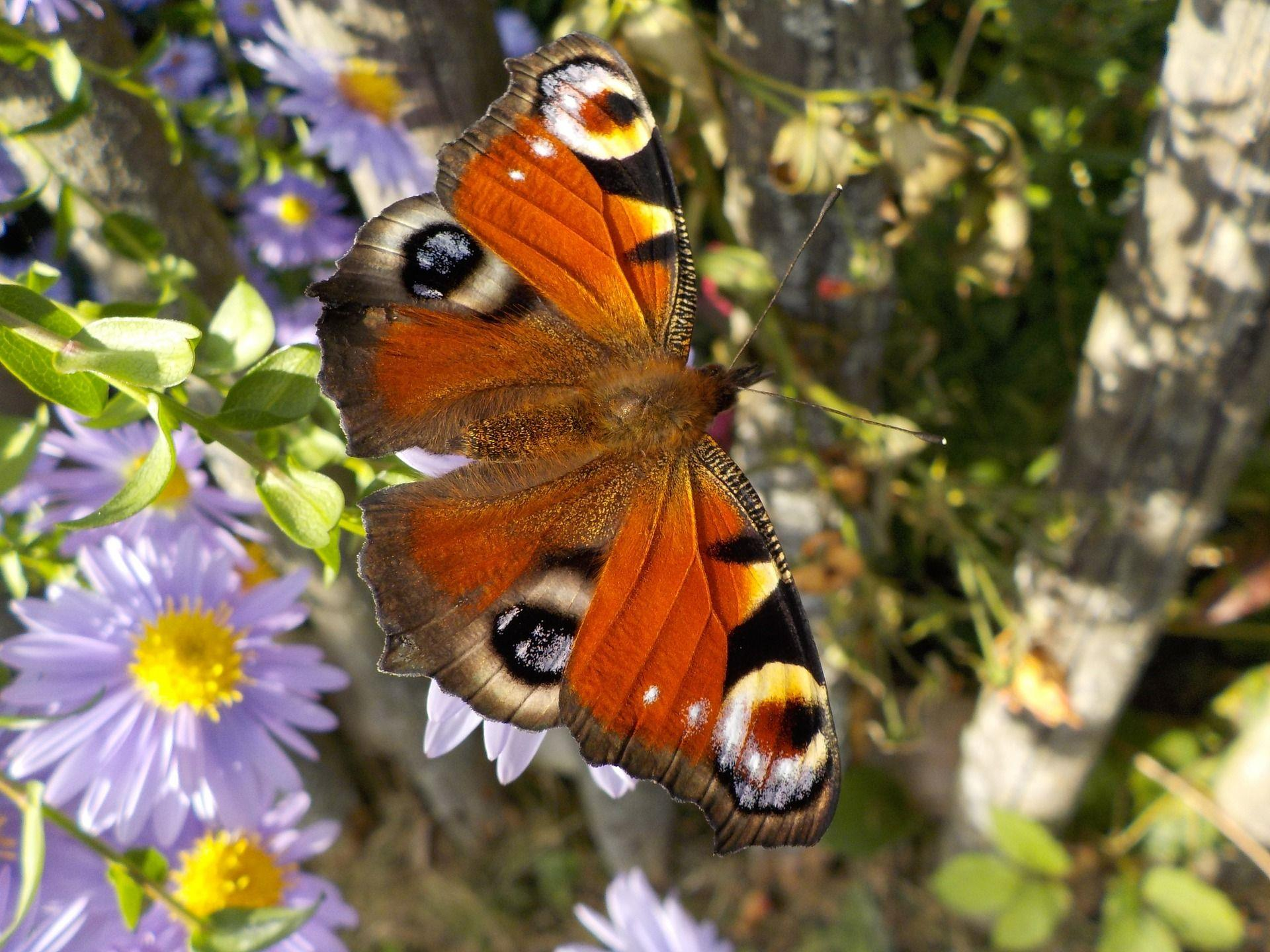 Das Pfauenauge ist einer der bekanntesten heimischen Schmetterlinge