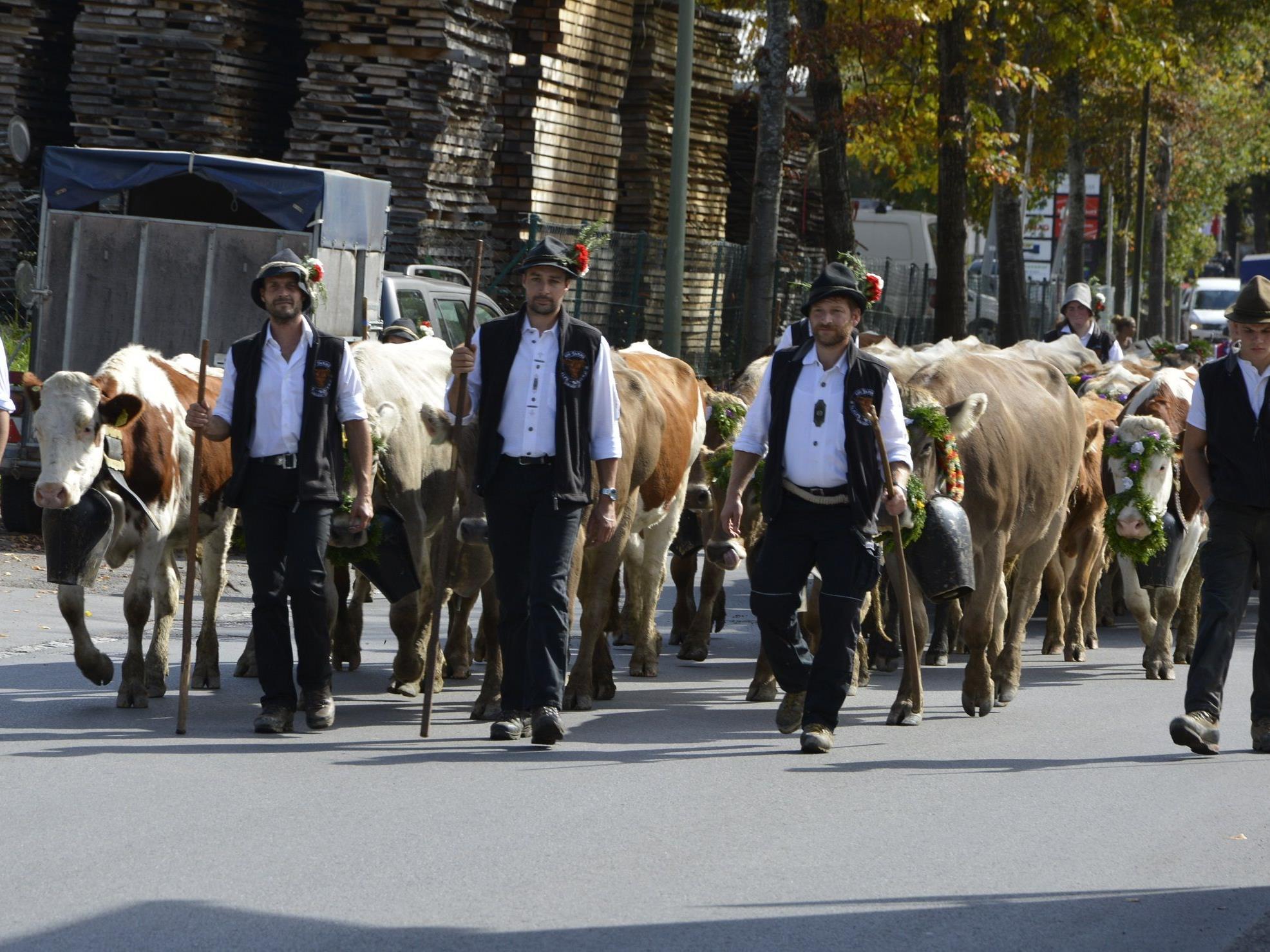 """Alphelfer mit über 500 Rindern kehrten am Samstag vom """"Wöster"""" zurück."""