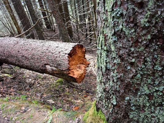 Aufgrund von Holzschlägerungen kommt es zu einer Vollsperre der Forststraße Furkla.