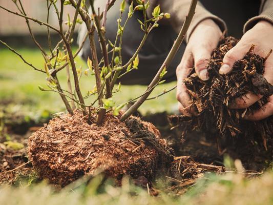 Frau pflanzt einen Blaubeerstrauch in den eigenen Garten